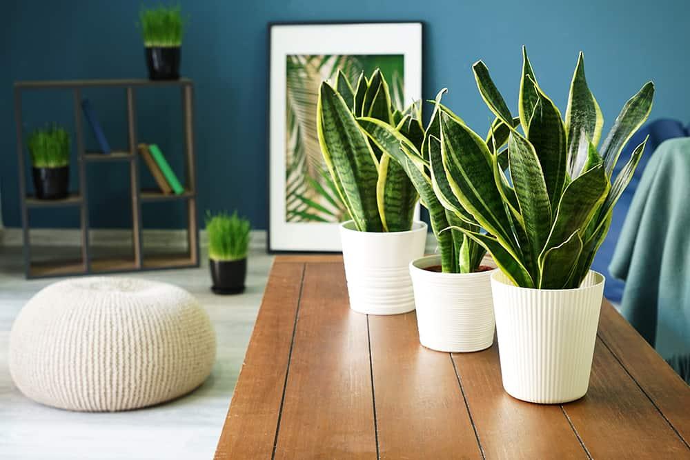Grüne Zimmerpflanzen: Bogenhanf-Sansevieria
