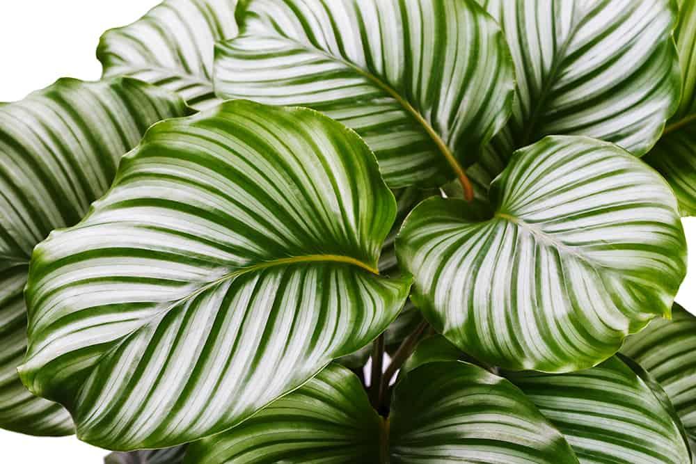 Grüne Zimmerpflanzen: Calathea-Korbmarante