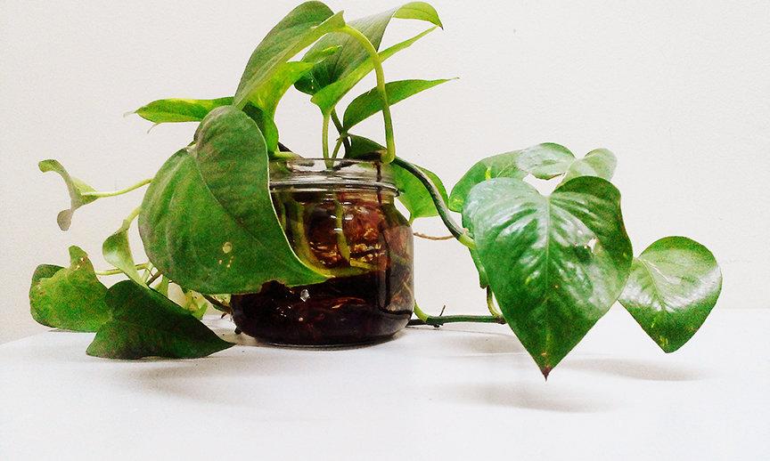Grüne Zimmerpflanzen: Efeutute-Epipremnum pinnatum