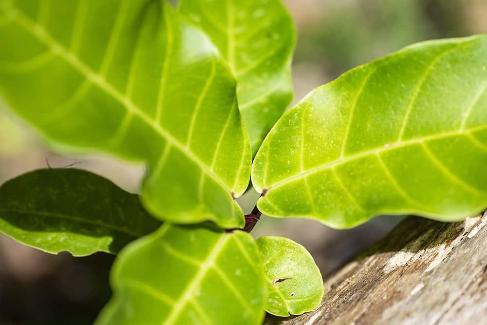 Grüne Zimmerpflanzen: Geigenfeige-Ficus lyrata