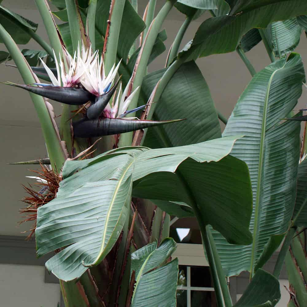 Weisse Paradiesvogelblume-Strelitzia nicolai