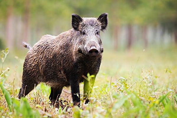 Wild aus der Region: Wildschwein