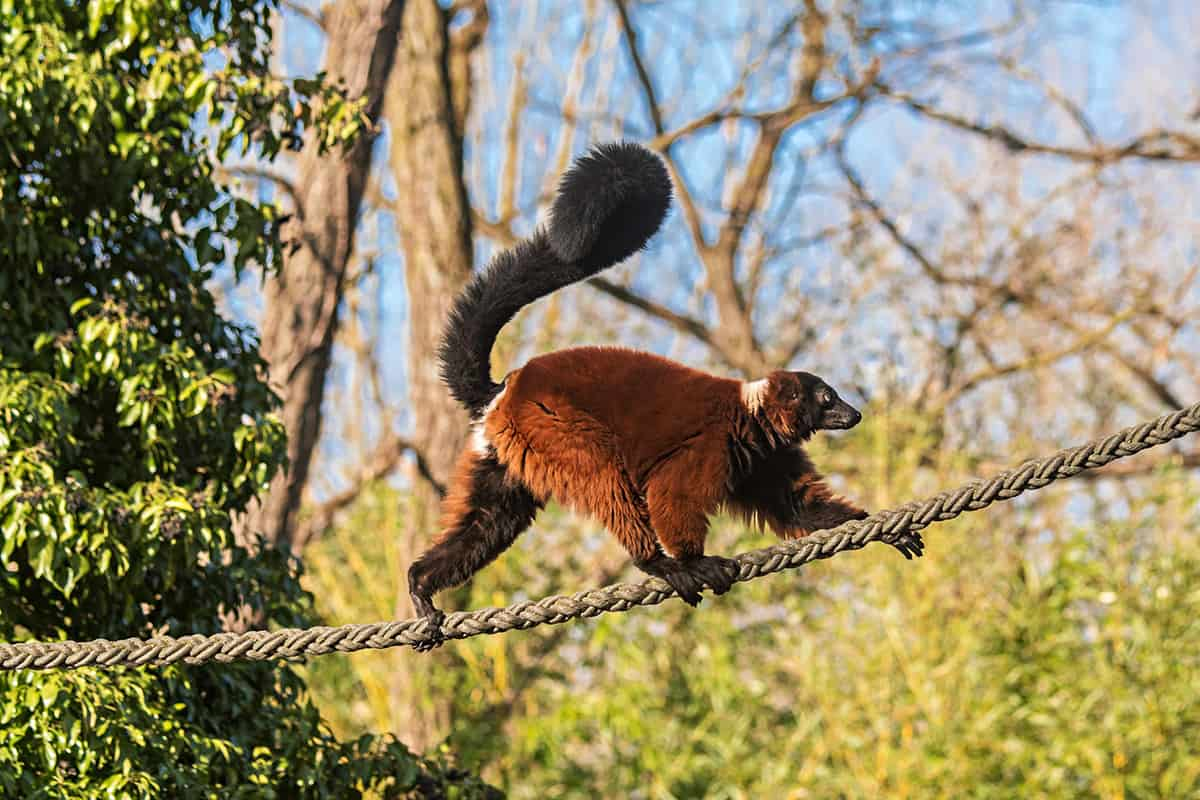 Roter Vari Tierpark Hellabrunn, Foto: Daniela Hierl